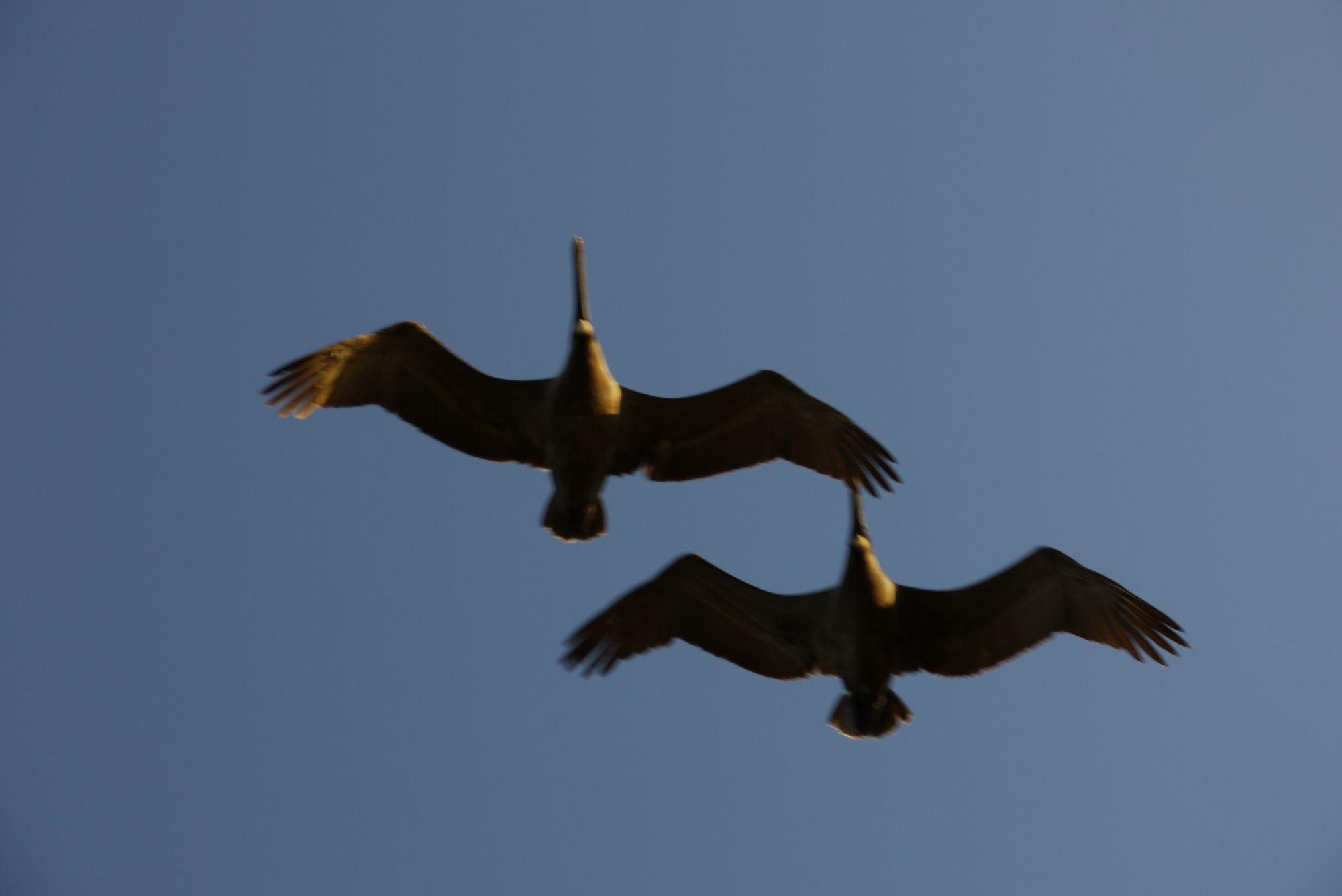 Das Wild Bird Sanctuary - Pelikane